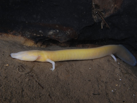 Did you know that Olm can go to starvation up to 10 years? (foto: Vedran Jalžić)